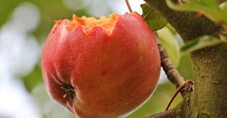 Siatka przeciwko ptakom - skuteczna ochrona sadu i ogrodu