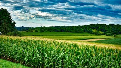 Znaczny wzrost cen amerykańskich zbóż