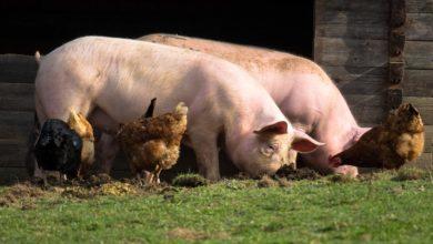 Mykotoksyny i ich wpływ na zwierzęta