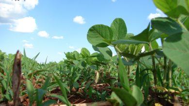 Błędy w uprawie soi