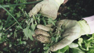 Alternarioza - choroba groźna dla upraw
