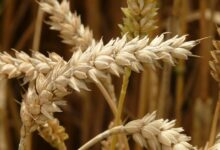 Spadek cen zbóż na światowych rynkach - czerwiec 2020